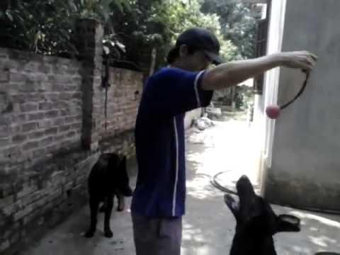 Working Dog Trại Chó Giống Ngato 0918753333 Youtube