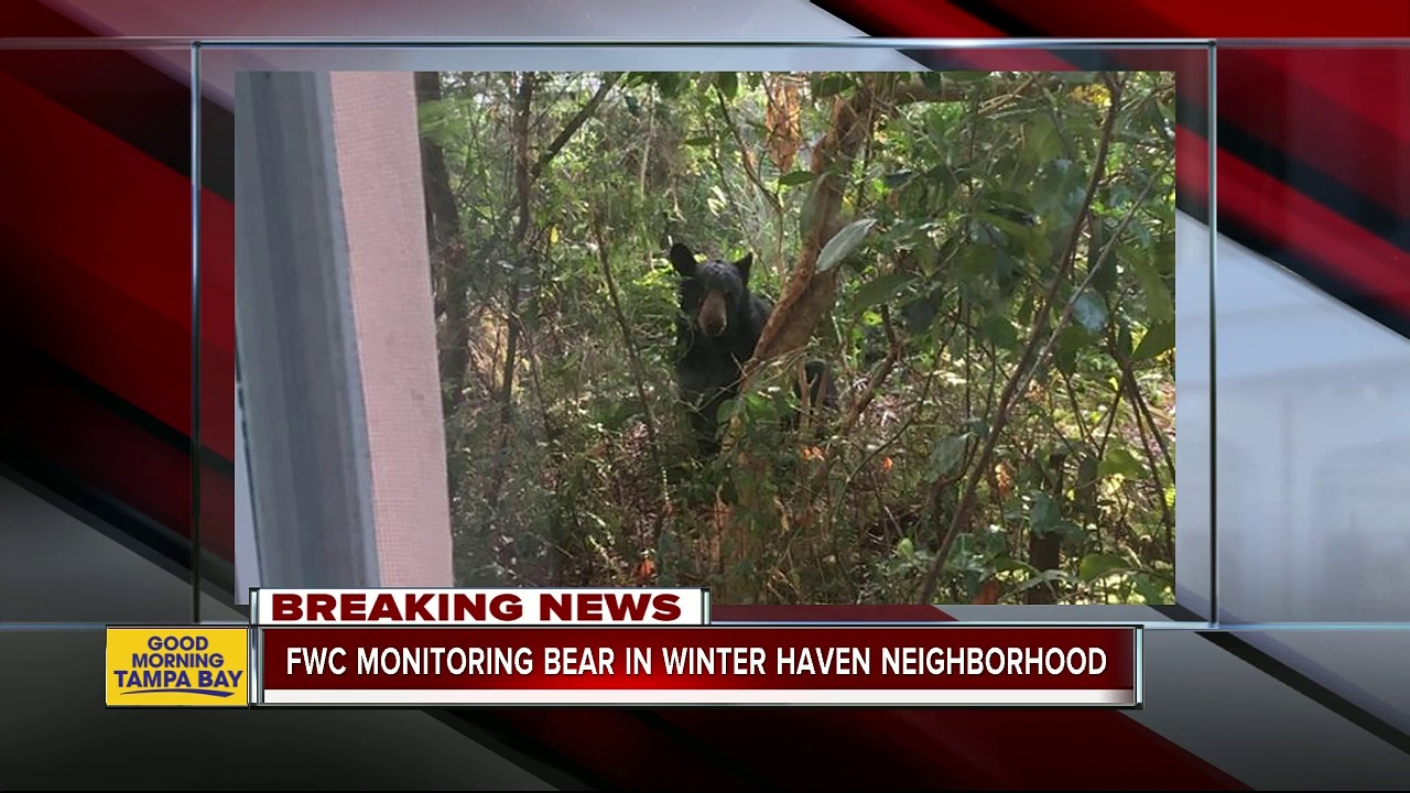 fwc monitoring bear in winter haven neighborhood youtube. Black Bedroom Furniture Sets. Home Design Ideas