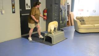 Lab Learns To Hold And Carry At Michigan Dog Training Retrieve Seminar