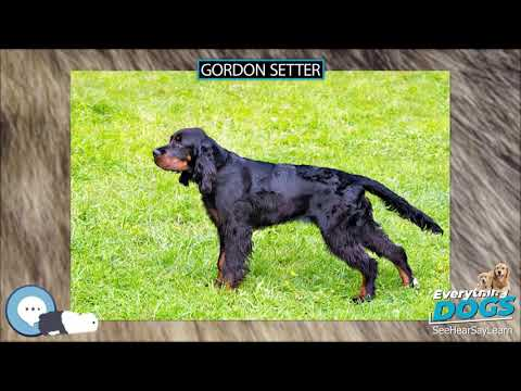 Gordon Setter 🐶🐾 Everything Dogs 🐾🐶