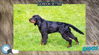Gordon Setter  Everything Dogs