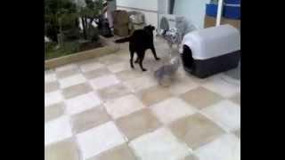 Labrador Vs Dalmatian 3