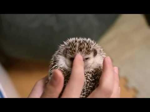 ハリネズミの鳴き声、さわると威嚇するけどかわいい ハリネズミの日常その2 angry hedgehog