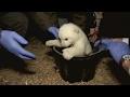 小北極熊健檢學吃肉 萌樣電翻德國人【大千世界】北極熊|寶寶|德國|芬蘭|動物園|可愛動物