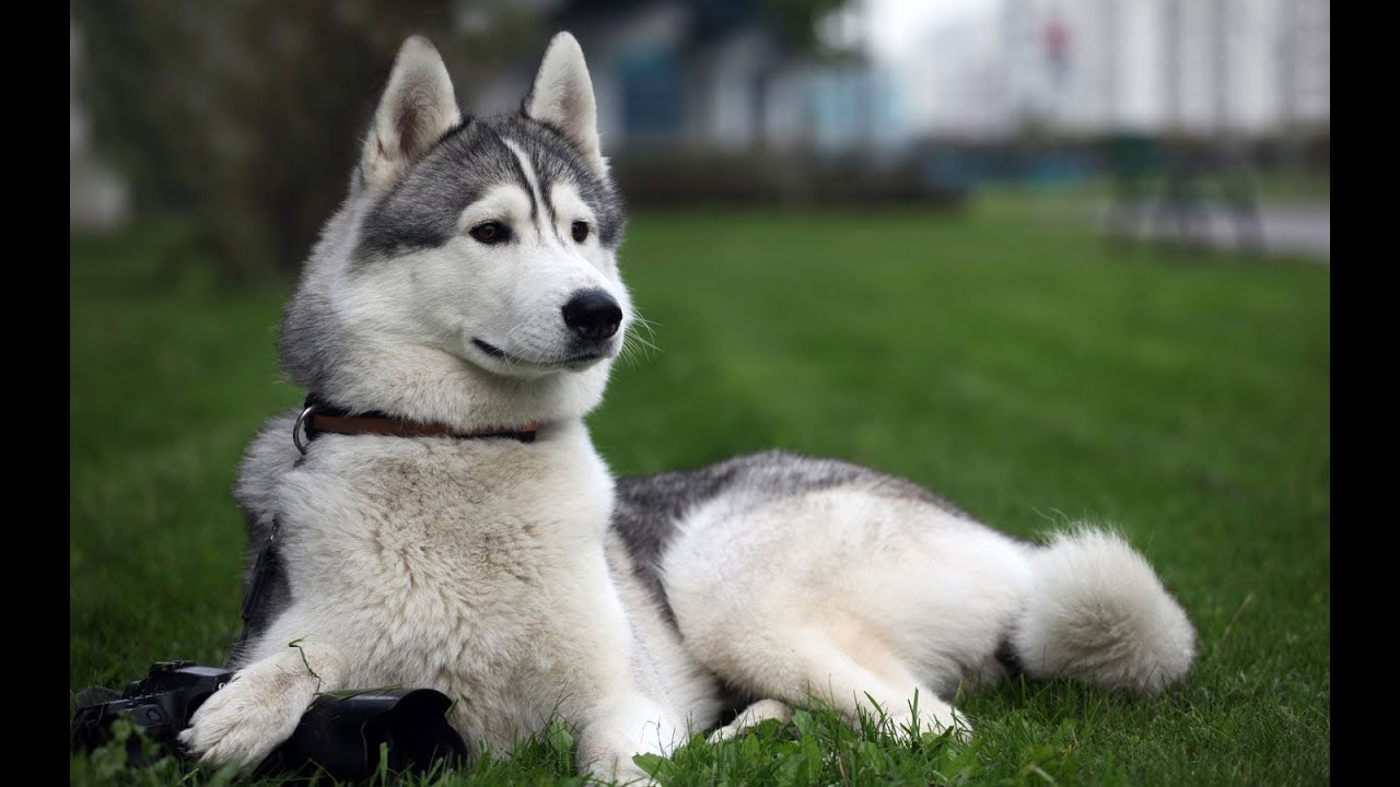 Top 10 fastest dog breeds in the world youtube for What are the best dogs in the world