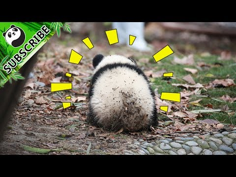 【Panda Theme】Baby Pandas Falling Down Are The Most Adorable Thing Ever 20170702 | iPanda