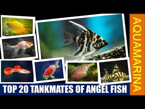Top 20 Tankmates Of Angel Fish | Pterophyllum Scalare || Aquamarina
