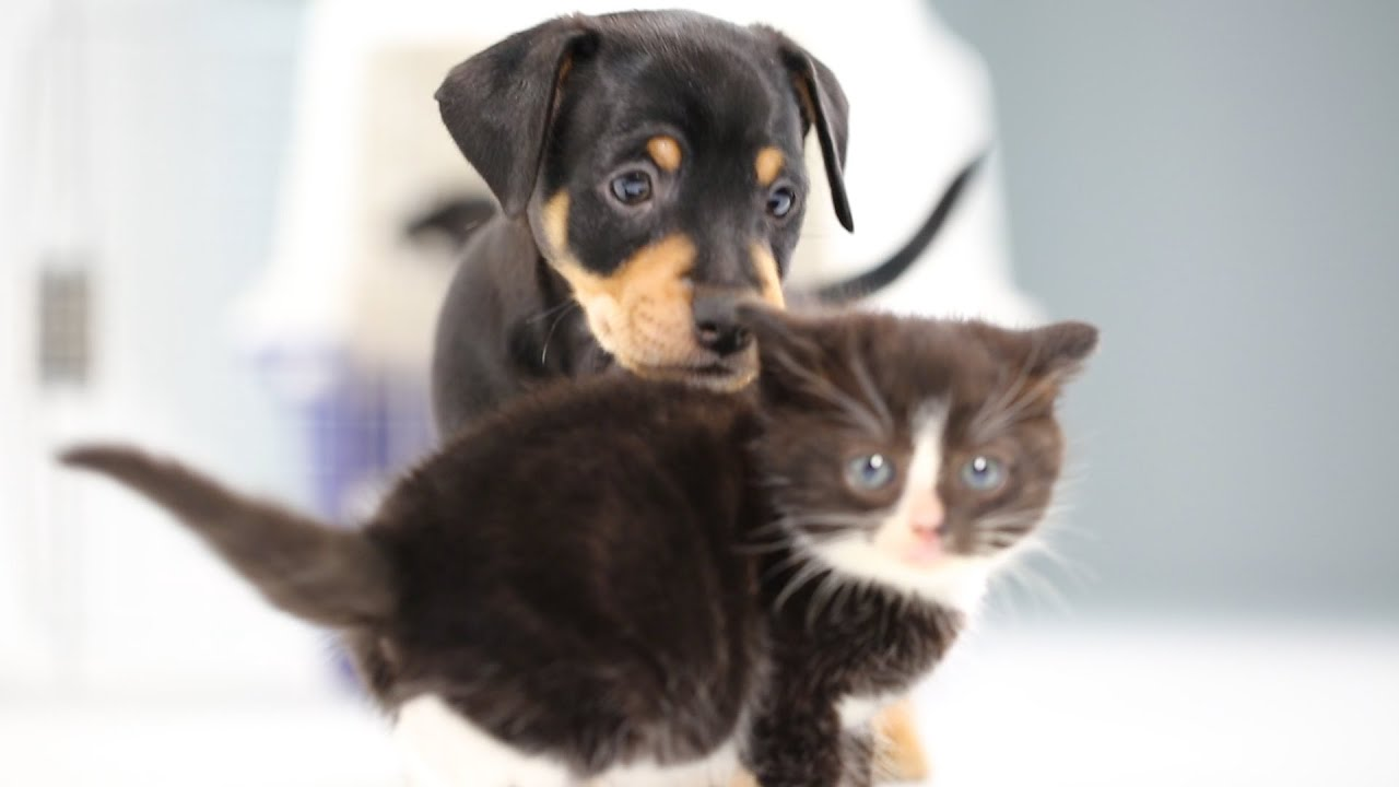 Kittens Meet Puppies For The First Time Youtube