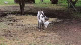 Dusty the Miniature Baby Donkey 2.5 days old, running with Magic Skye