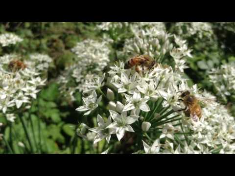 Leek Flowers with Honey Bees