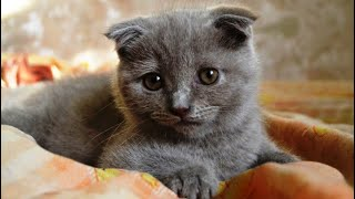 INTERESTING FACTS ABOUT SCOTTISH FOLD CAT