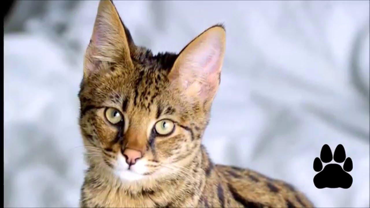 Всё о породе кошек као мани. Пожаловаться. Здравствуйте. Подскажите мой кот относится к породе као мани?. 2. Здравствуйте. Цена?. Нравится.