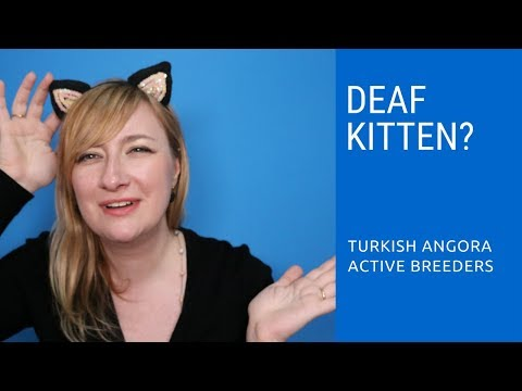 Deafness in Turkish Angora kittens