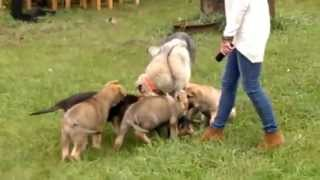 German Shepherd & Shiloh Shepherd Mix On Sale