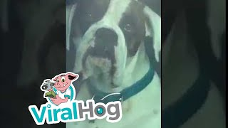 Impatient Dog Honks Horn for Owner's Attention || ViralHog thumbnail