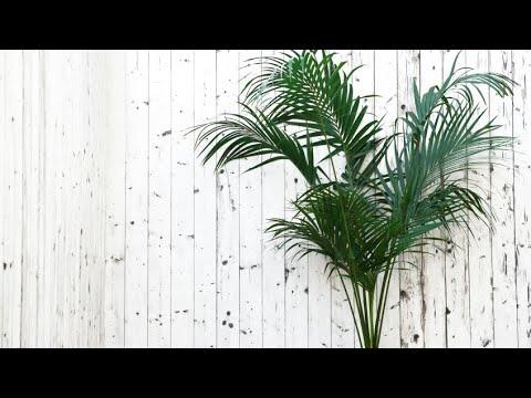 Palmeras: La Kentia - Jardinería