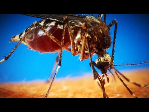 Will FDA allow the release of genetically modified mosquitoes?