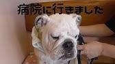 まる チャンネル ブル 生後2ヶ月の子犬が家族に加わりました!