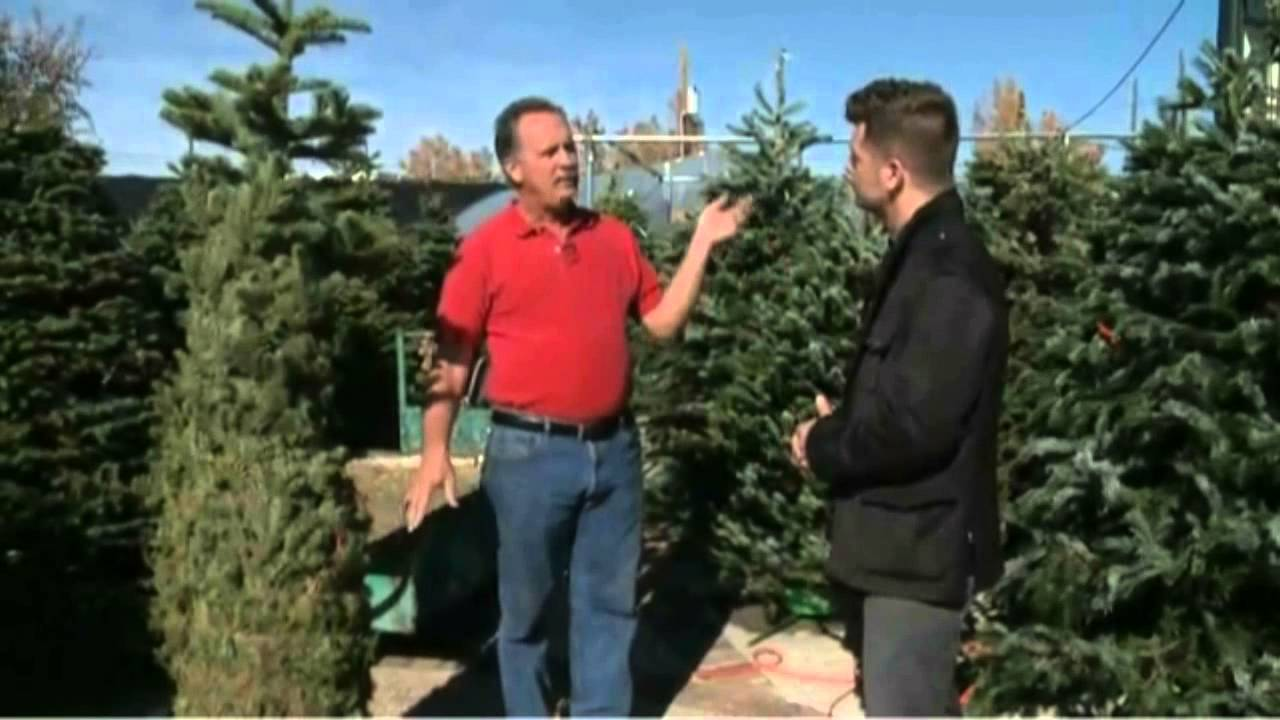How To Keep Your Live Christmas Tree Fresh Longer - YouTube