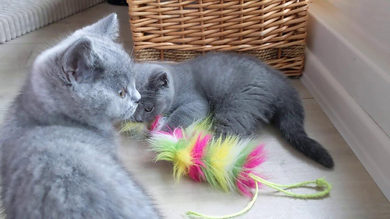 British Shorthair Kitten 9 weeks (Wilson)