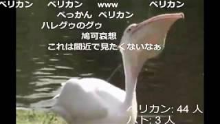 【閲覧注意】ハトを食べるペリカン【コメ付き】