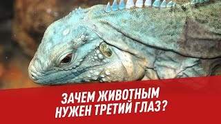 Зачем животным нужен третий глаз? - Хочу всё знать