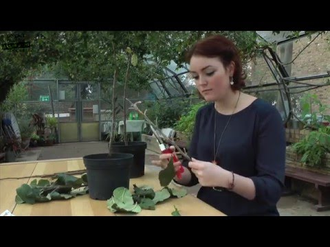 Bud Grafting - a video guide to bud grafting fruit trees for beginners