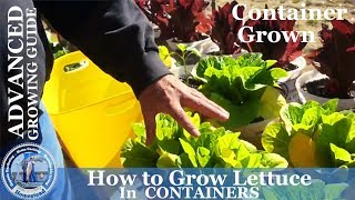 HD How to Grow Lettuce in Containers