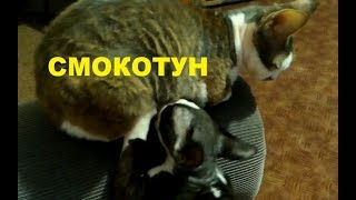 ✅ Взрослый котенок смокчет кошку