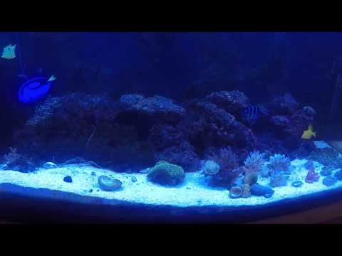 Salt Water Puffers - Burr Fish (Spiny Box Puffer), Cow Fish, And Valentine Puffer