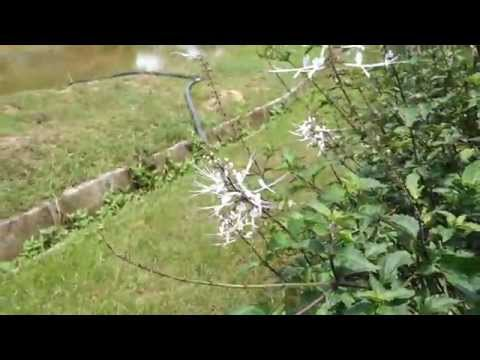 Cat Whiskers Plant Explanation @ Zenxin Organic Park