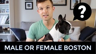 Should I Get A Male Or Female Boston Terrier? Boy or Girl?