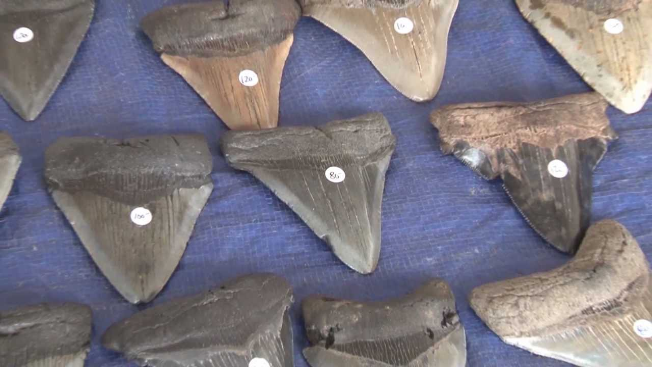 venice fl shark tooth - photo#32