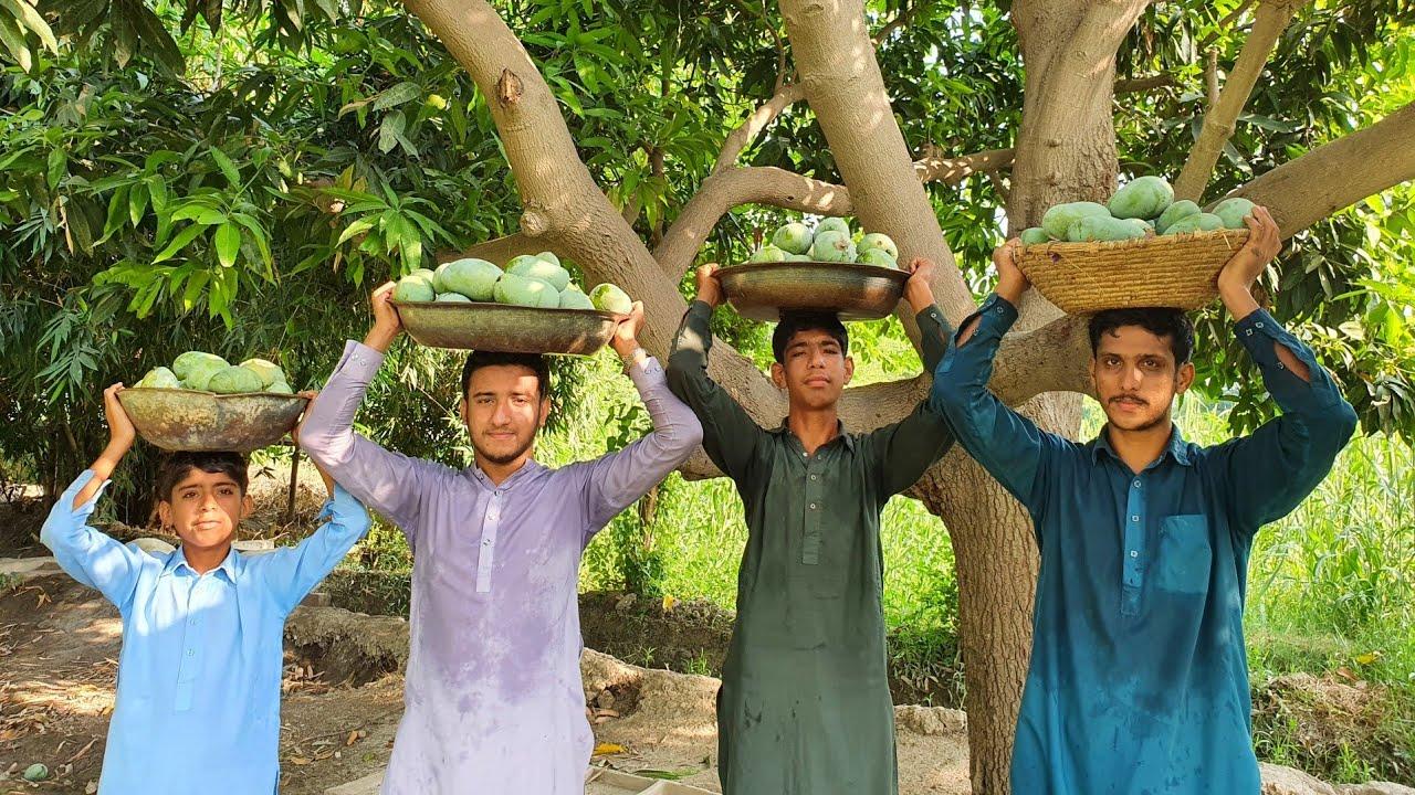 Mango Harvesting | Agriculture In Pakistan | Village Life In Punjab