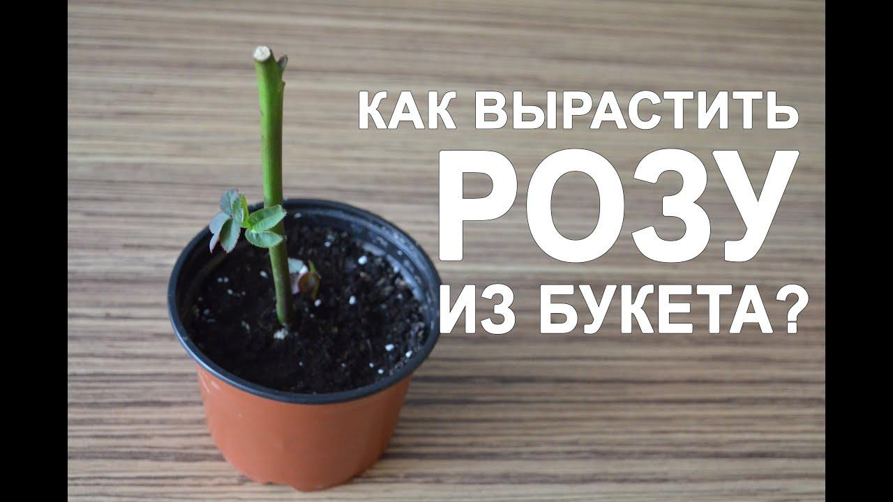 Как вырастить розу дома из букета