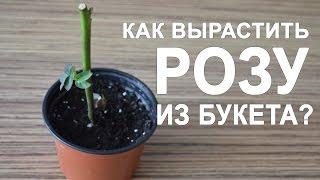 видео Как вырастить розу из черенка