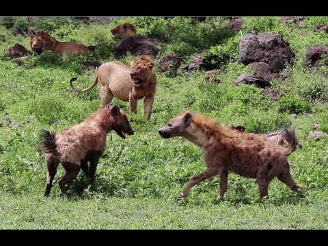 Numbers game: 30 hyenas vs. 3 lions