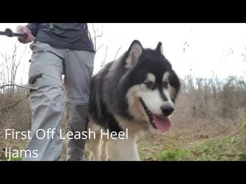 150 Pound Alaskan Malamute Becomes an Off Leash Beast!