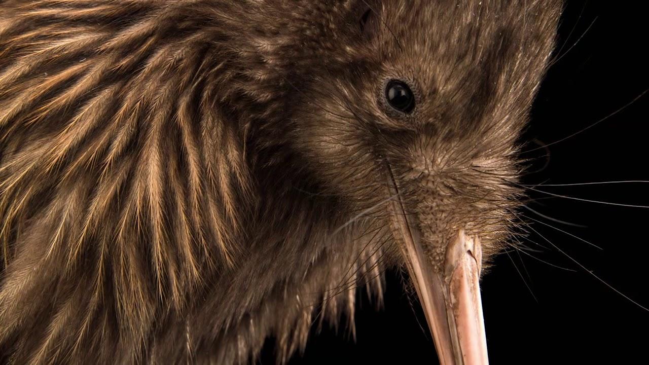 Rare extrait le kiwi l 39 oiseau qui ne vole pas youtube - Jeux d oiseau qui vole ...