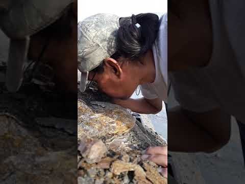 Surface Mining For Ammonite Gem Fossils
