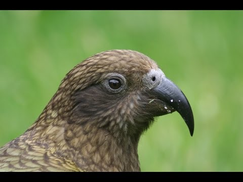 The Kea – The world's only true Alpine PArrot – Next72Hours