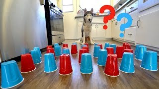 how-smart-is-my-husky-intelligence-test