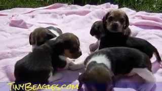 Beagle Puppy Video Pocket Beagles Miniature Tiny 2 Weeks For Sale