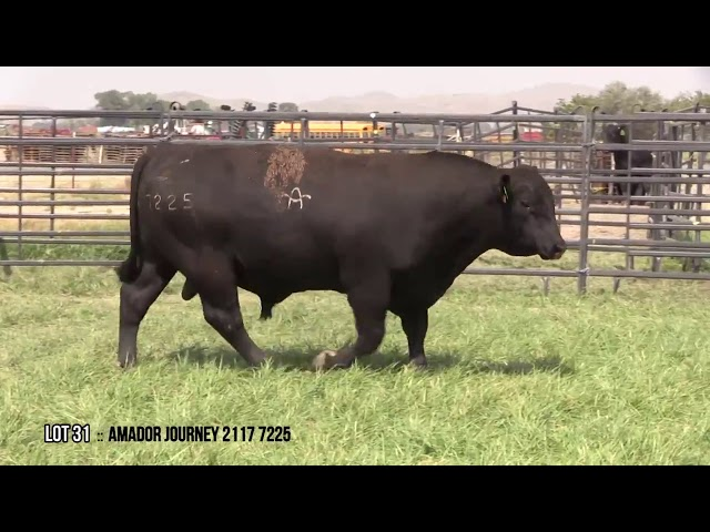 Mid Valley Bull Sale Lot 31