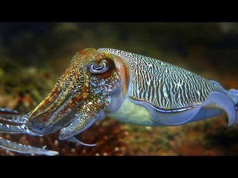 Cuttlefish - The King Of Camouflage