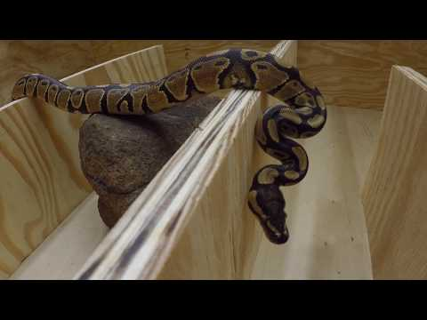 Python Ambushes And Feeds On Live Mouse In Maze