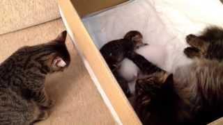 Кот сидит с котятами, а кошка-мать переживает