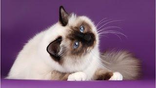 Birman Cat / Бирманская кошка