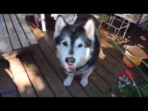 Pinga Alaskan Malamute Up To Her Old Tricks