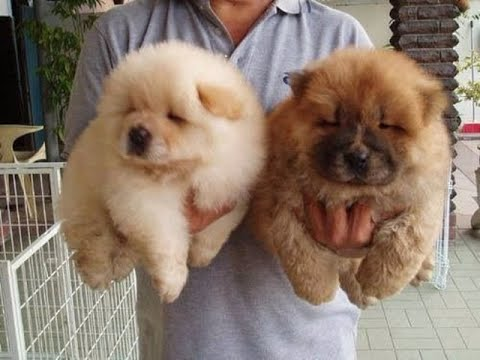 Chow Chow Cute Puppies in  just 10,000 Limited  Period offer|| by dogs breed